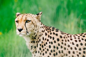 Wild Cats #1 - Cheetah