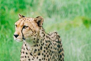 Wild Cats #2 - Cheetah