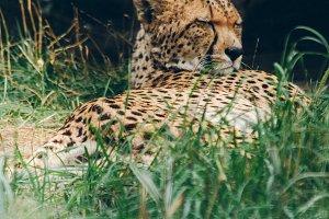 Wild Cats #3 - Cheetah