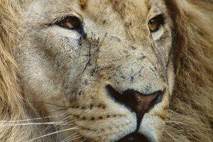Wild Cats #4 - Lion