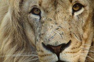 Wild Cats #5 - Lion