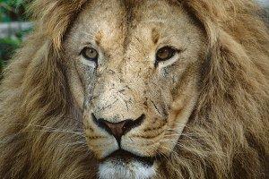 Wild Cats #6 - Lion