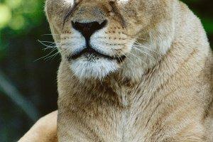Wild Cats #7 - Lion