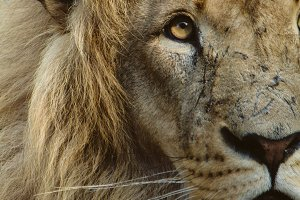 Wild Cats #8 - Lion