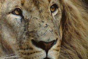 Wild Cats #9 - Lion