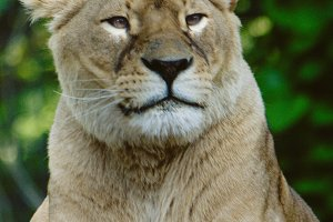 Wild Cats #10 - Lion