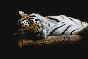 Wild Cats #11 - Tiger