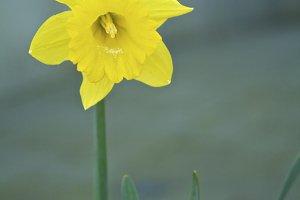 Daffodil #7 - Yellow Flower