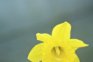 Daffodil #6 - Yellow Flower