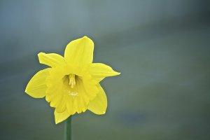 Daffodil #5 - Yellow Flower