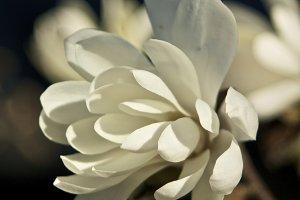 Magnolia #6 - White Flower