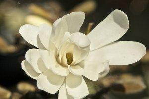 Magnolia #7 - White Flower