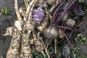 Beets and parsnips in the garden