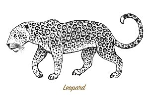 African Wild leopard. Profile