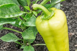 Bell pepper or sweet pepper plant in