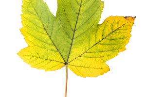 Yellow autumn maple leaf isolated wh