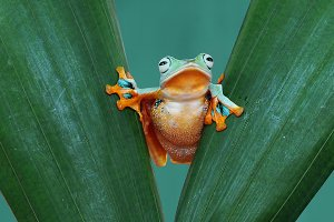 flying frog, frogs, tree frog,