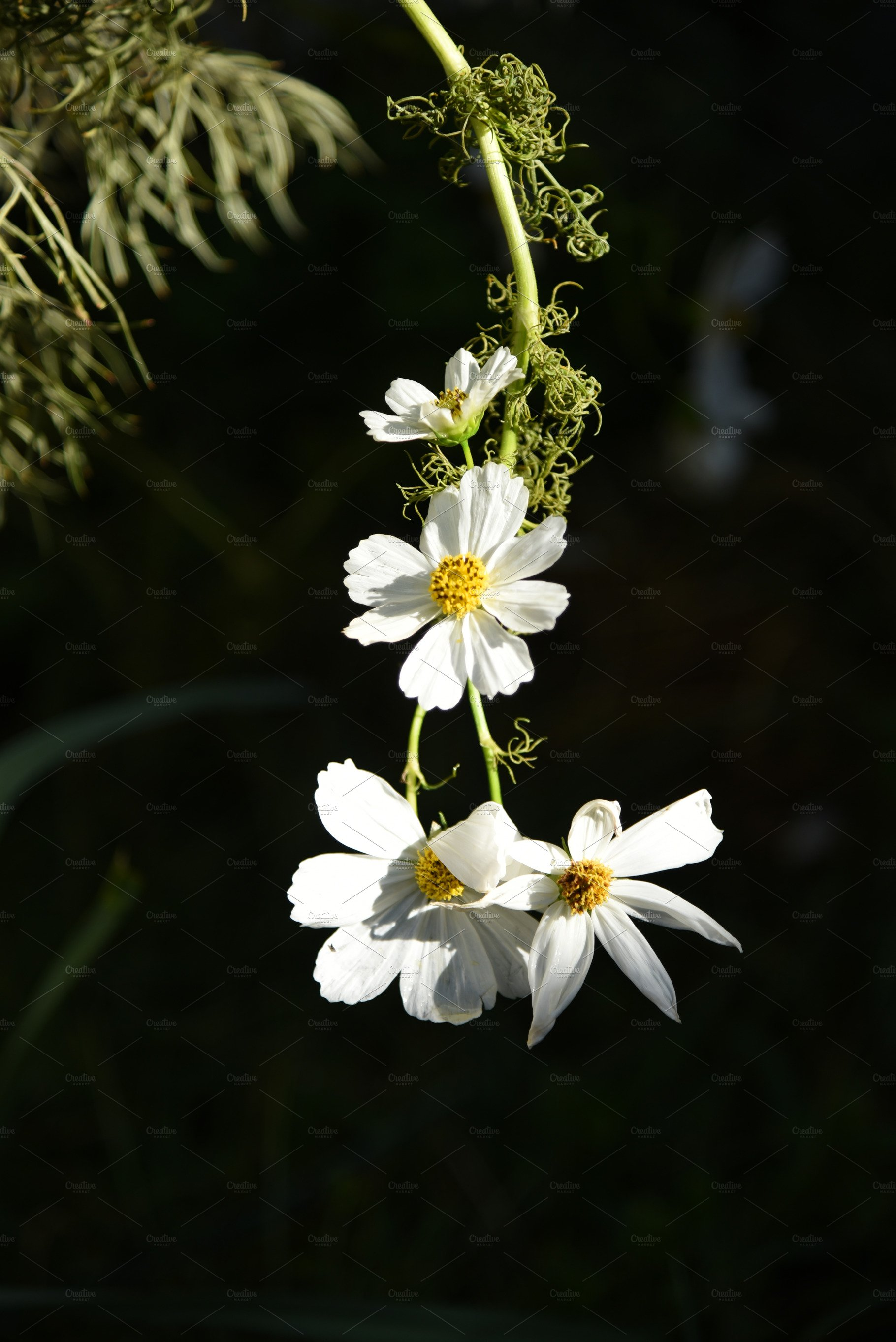 White Cosmos Flowers Hanging Nature Photos Creative Market