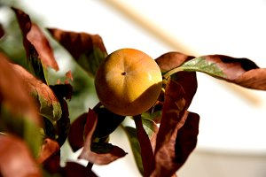 Ripe persimmon an dry branch