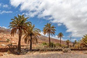 Palm Trees in Fuerteventura