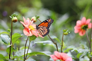 Monarch butterfly with dahlias