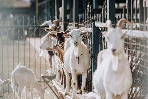 selective focus of goats standing ne