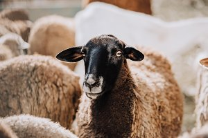 portrait of brown sheep grazing with