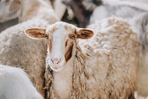 portrait of sheep grazing with herd