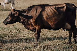 selective focus of black cow grazing