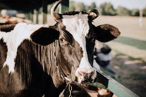 portrait of domestic beautiful cow s