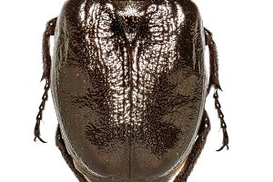 Russian Leather Beetle