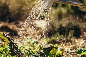 Watering vegetables with sprinkling