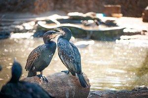 Two Great  cormorants sit on a tree