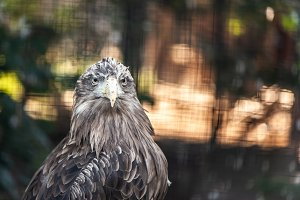 Portrait of a large gray eagle, spac