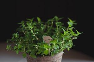 Lovely Green Peppermint Plant