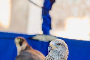 Black Kite, Milvus migrans, brown bi