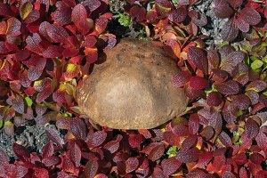 Wild mushroom Leccinum scabrum