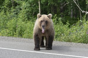 Brown bear stands asphalt road