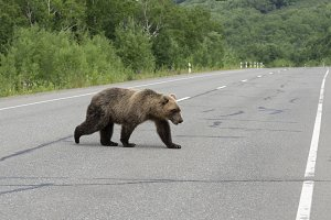 Hungry brown bear walks on road