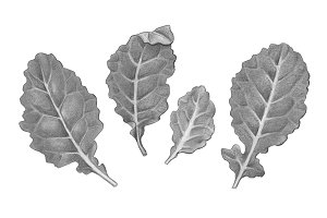 Baby Kale Leaves Pencil Illustration