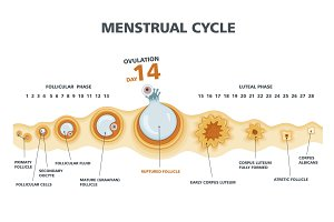 Ovulation chart.