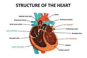 Anatomy of human heart.