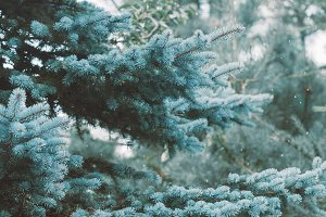 Blue spruce in a forest