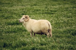 Sheep grazing in Iceland