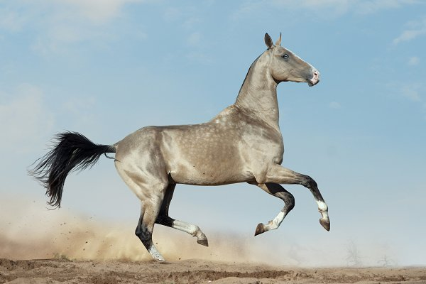 Animal Stock Photos - Akhal-teke horse in desert