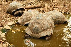 Large Galapagos tortoise
