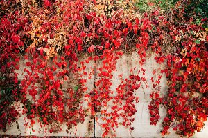 Red Vine Leaves Fall Autumn