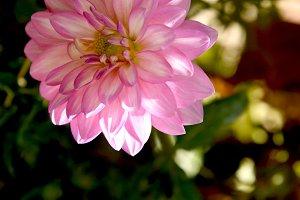 Lone pink dahlia at garden