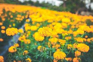 Landscape of marigolds on a marigold