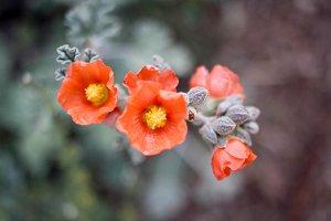 Desert Flowers #2